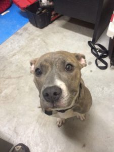 Greybull Pit Dog Breed Information All You Need To Know