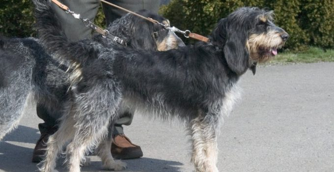 Griffon Bleu De Gascogne Dog Breed Information All You Need To Know