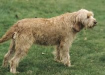 Griffon Fauve de Bretagne Dog Breed Information – All You Need To Know