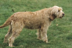 Griffon Fauve De Bretagne Dog Breed Information All You Need To Know