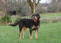 Griffon Nivernais Dog Breed Information – All You Need To Know