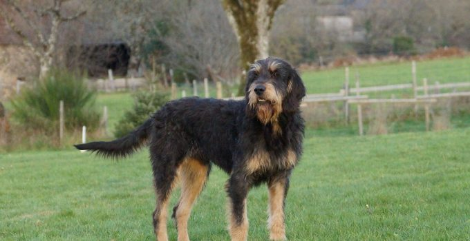 Griffon Nivernais Dog Breed Information All You Need To Know