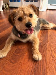 Griffon Pei Dog Breed Information All You Need To Know