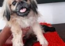 Griffonese Dog Breed Information – All You Need To Know