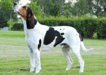 Haldenstover Dog Breed Information – All You Need To Know