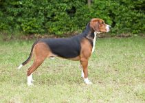 Hamiltonstovare Dog Breed Information – All You Need To Know