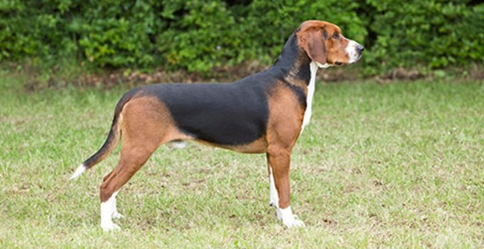 Hamiltonstovare Dog Breed Information All You Need To Know