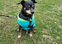Harlequin Pinscher Dog Breed Information – All You Need To Know
