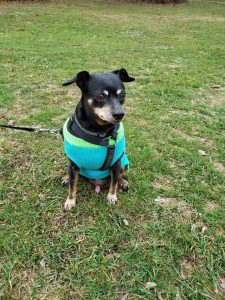 Harlequin Pinscher Dog Breed Information All You Need To Know