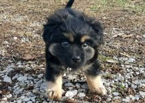 Havamalt Dog Breed Information – All You Need To Know