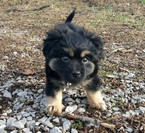 Havamalt Dog Breed Information All You Need To Know
