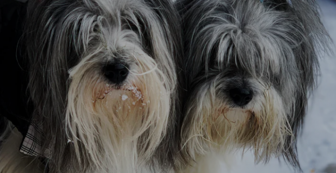Havana Silk Dog Breed Information All You Need To Know