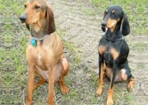 Hellenic Hound Dog Breed Information – All You Need To Know