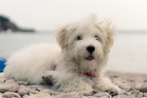 Highland Maltie Dog Breed Information All You Need To Know