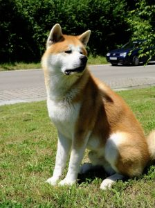 Hokkaido Dog Breed Information All You Need To Know