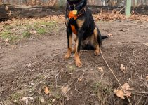 Huntaway Dog Breed Information – All You Need To Know