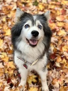 Huskimo Dog Breed Information All You Need To Know