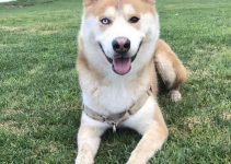Huskita Dog Breed Information – All You Need To Know
