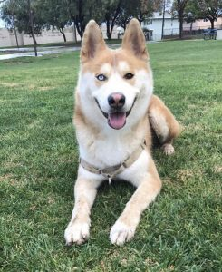 Huskita Dog Breed Information All You Need To Know