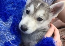 Husky Jack Dog Breed Information – All You Need To Know