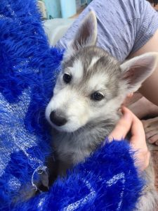 Husky Jack Dog Breed Information All You Need To Know