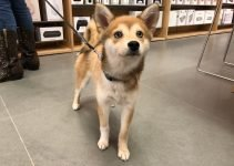 Imo-Inu Dog Breed Information – All You Need To Know