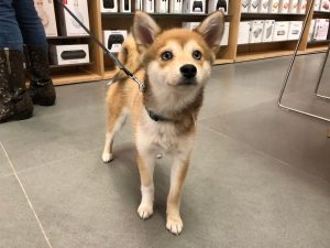 Imo Inu Dog Breed Information All You Need To Know