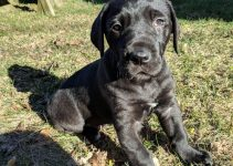Irish Dane Dog Breed Information – All You Need To Know
