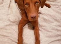 Irish Dobe Setter Dog Breed Information – All You Need To Know