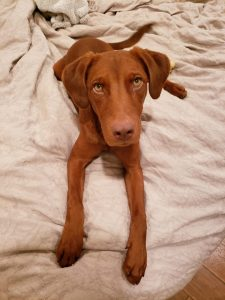 Irish Dobe Setter Dog Breed Information All You Need To Know