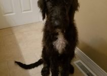 Irish Doodle Dog Breed Information – All You Need To Know