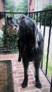 Irish Wolf Schnauzer Dog Breed Information All You Need To Know