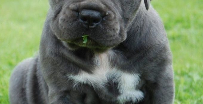 Italian Bulldogge Dog Breed Information All You Need To Know