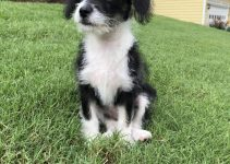 Jack-A-Poo Dog Breed Information – All You Need To Know