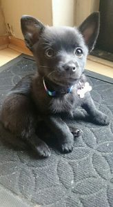 Jack A Ranian Dog Breed Information All You Need To Know