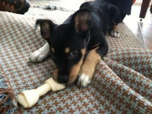 Jackweiler Dog Breed Information All You Need To Know