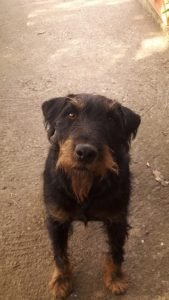 Jagdterrier Dog Breed Information All You Need To Know
