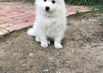 Japanese Spitz Dog Breed Information – All You Need To Know