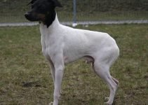 Japanese Terrier Dog Breed Information – All You Need To Know