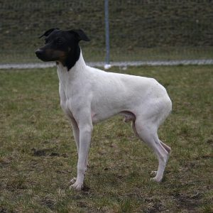 Japanese Terrier Dog Breed Information All You Need To Know