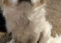 Japeke Dog Breed Information – All You Need To Know