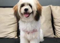 Jatzu Dog Breed Information – All You Need To Know