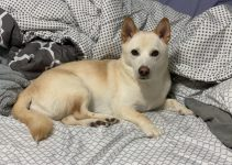 Jindo Dog Breed Information – All You Need To Know