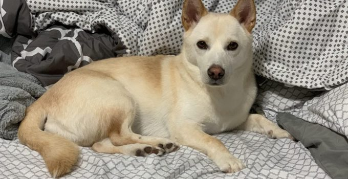 Jindo Dog Breed Information All You Need To Know