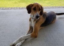July Hound Dog Breed Information – All You Need To Know