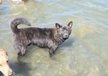 Kai Ken Dog Breed Information – All You Need To Know