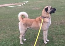 Kangal Dog Breed Information – All You Need To Know