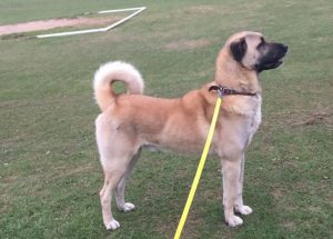 Kangal Dog Breed Information All You Need To Know