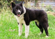 Karelian Bear Dog Breed Information – All You Need To Know