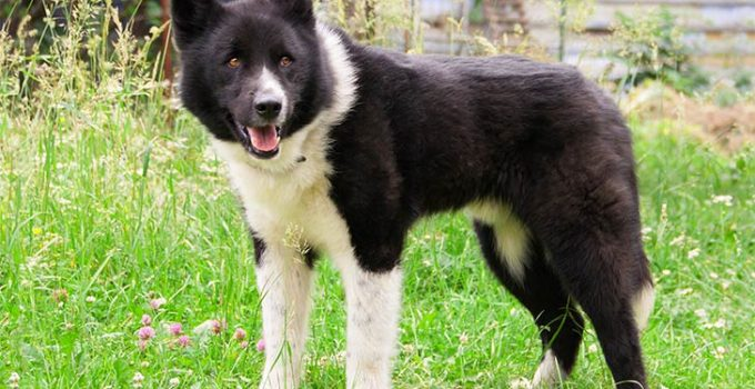 Karelian Bear Dog Breed Information All You Need To Know